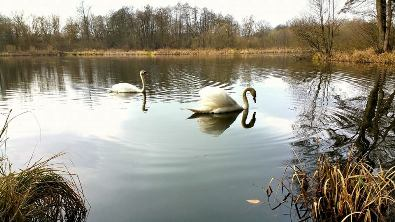 Ein Schwan in Walkenried